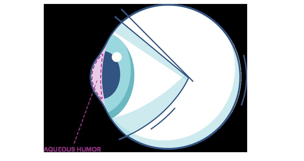 Illustration de n'importe quel oeil mettant en évidence l'humeur aqueuse.